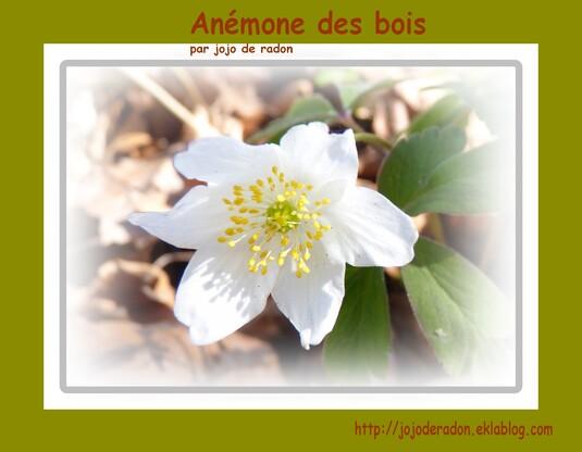 Anémone Sylvie