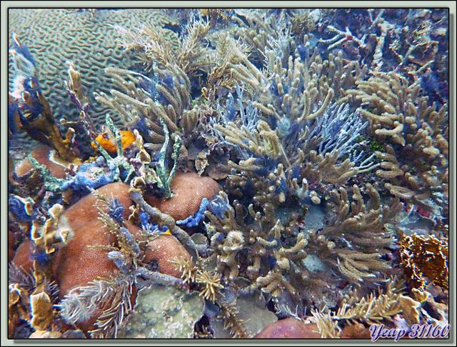 Blog de images-du-pays-des-ours : Images du Pays des Ours (et d'ailleurs ...), Plongée à Isla Bastimentos, Panama: Ophiures fragiles (Brittle stars) sur divers supports