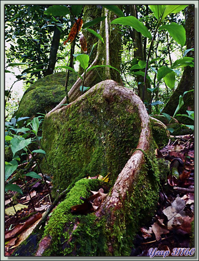 Promenade en forêt - Vers le Col des Trois Cocotiers : racine de mape - Moorea - Polynésie française