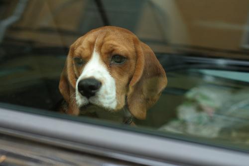 A-t-on le droit de briser la vitre d'une voiture pour sauver un chien?