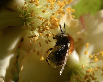 Fleurs d'actinidia