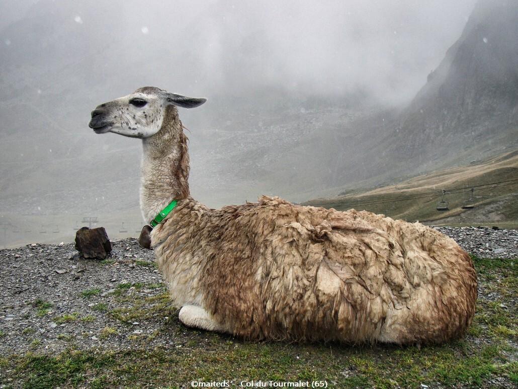 Lama rencontré en montant le Tourmalet (65)