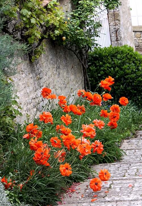 Fleurs cultivées : Coquelicot