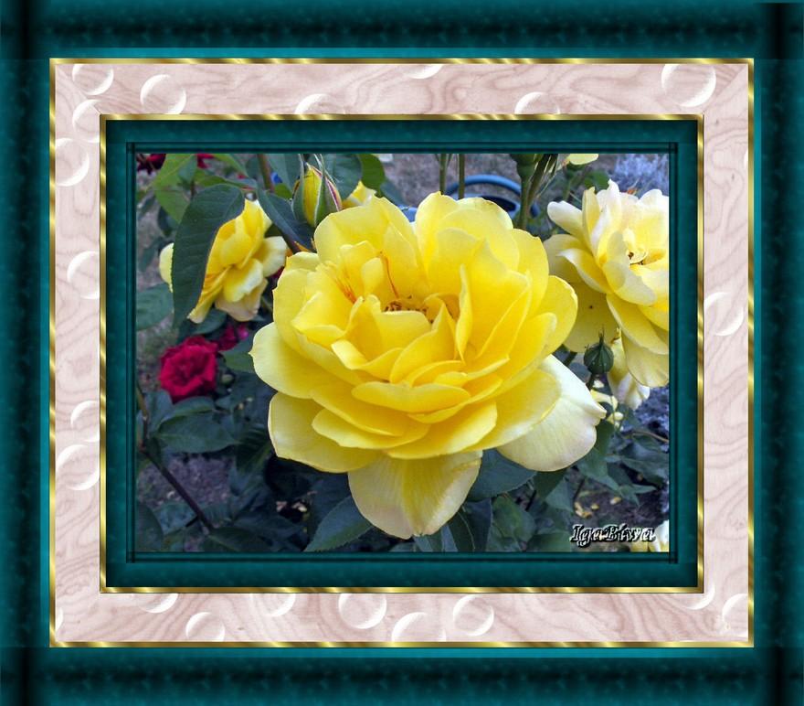 Les Roses D'Igabiwa