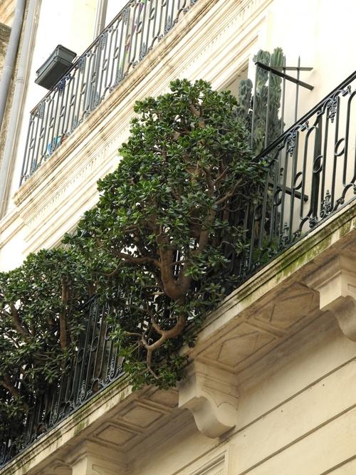 Arbre de jade Montpellier rue Boussairolles