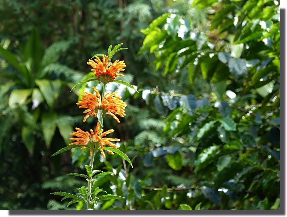 lamiacée (leonotis leonurus)