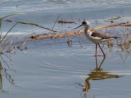 de beaux oiseaux rencontrés sur un petit lac