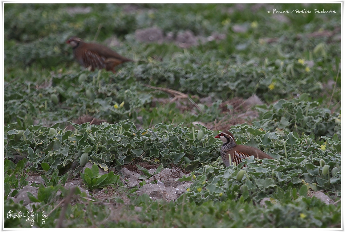 Perdrix rouge - Alectoris rufa - Red-legged Partridge