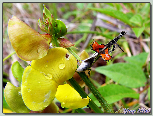 papillon - Isla Bastimentos - Bocas del Toro - Panama