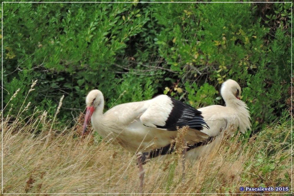 Réserve ornitho du Teich - fin Juilet 2015 - 3/9