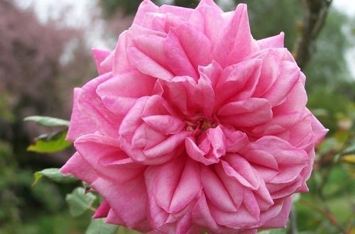 Roses Rares