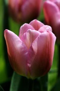 Tulipes Synaeda Amor3