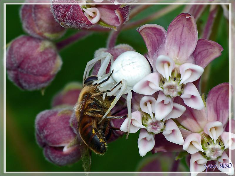 Araignée crabe Thomise variable (Misumena vatia) sur fleur de Plante aux perruches (Asclepia cornuti) - Lartigau - Milhas - 31