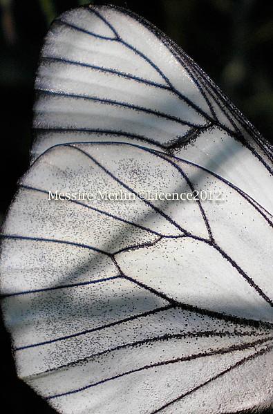 Aile écaillepapillon Gazé