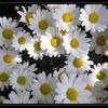 Fleur Anthemis  2.jpg