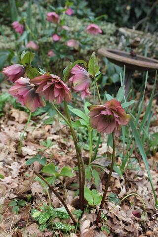 hellebore double rose