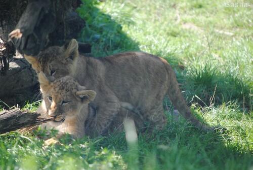 (11) Les petites princesses lionnes.