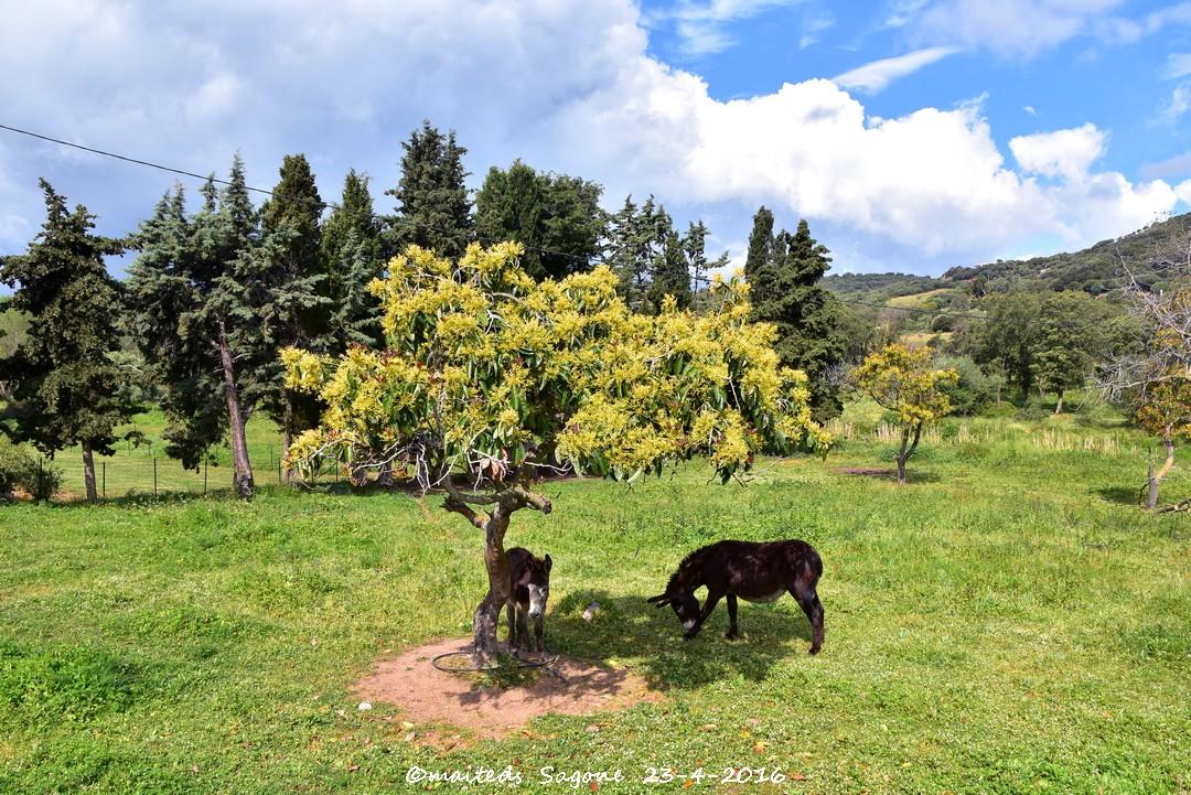 Ânes et chevaux près de Sagone