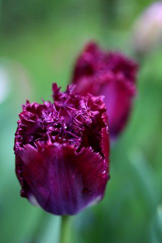 Tulipes 2020 : Purple Crystal