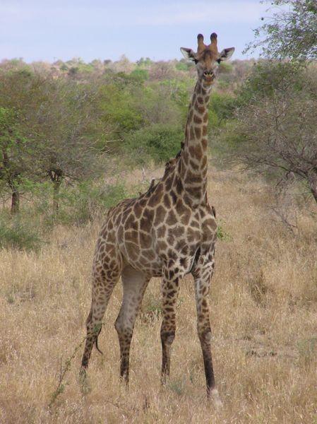 449px-Giraffe Kruger