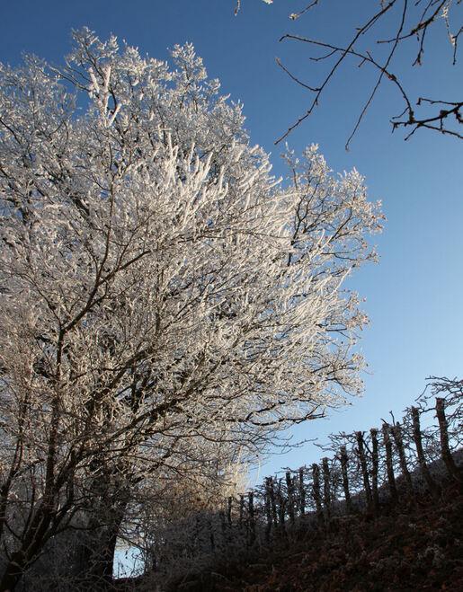 Sous les chênes, décembre givrée