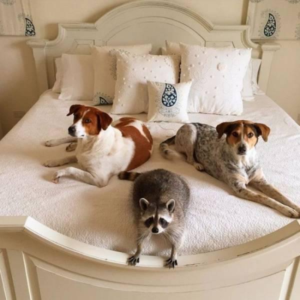 raton laveur deux chien