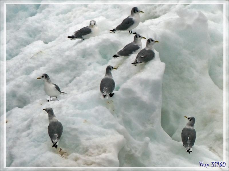 Mouettes - Mer des Tchouktches - Alaska