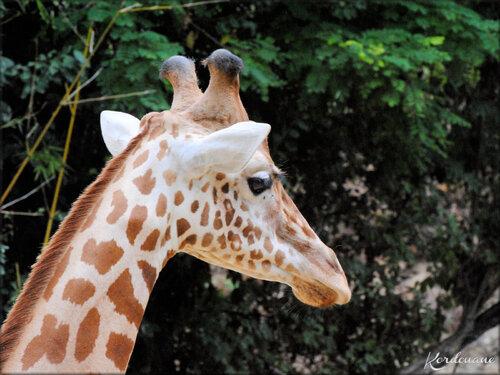 Photos de Girafes (Zoo de Doué la Fontaine)