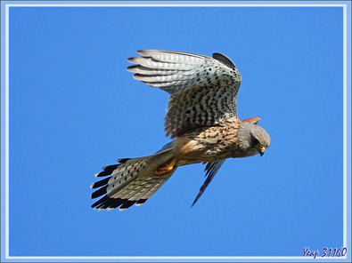 """Faucon crécerelle en """"vol du Saint-Esprit"""", Common Kestrel (Falco tinnunculus) - La Couarde-sur-Mer - Ile de Ré - 17"""