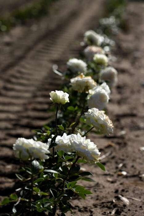 Les Roses de Warren : Elara