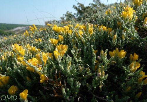 Genista pulchella subsp. villarsii - genêt de Villars