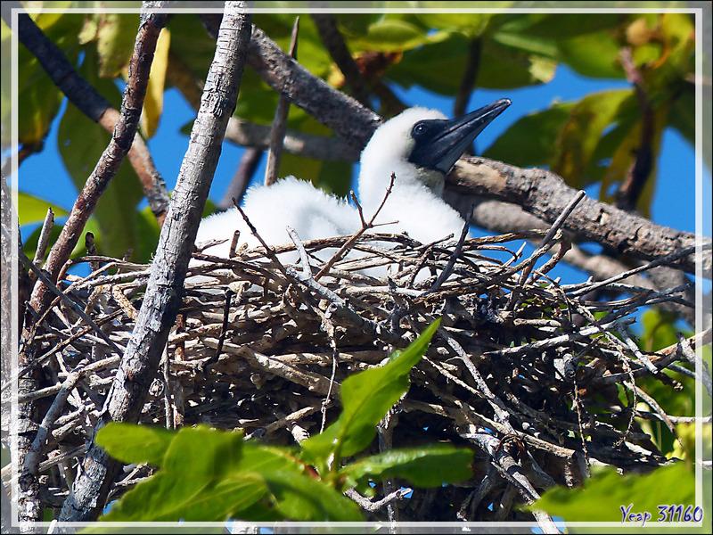 Poussin de Fou à pieds rouges, Red-footed Booby (Sula sula) - Ile aux oiseaux -  Vers la passe sud Tumakohua (Tetamanu) - Atoll de Fakarava - Tuamotu - Polynésie française