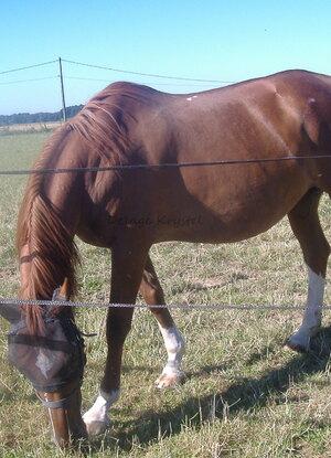 """Cheval ou Equus Caballus - Son nom """"Hirondelle"""", maman de """"Urielle"""""""