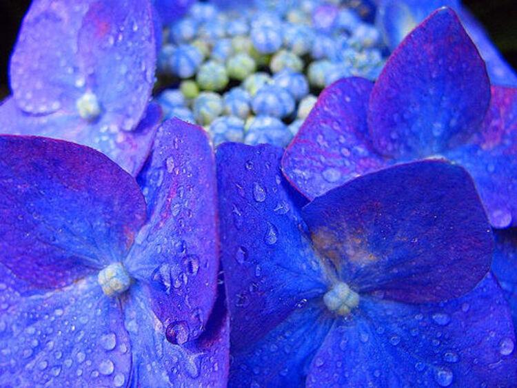 Hortensias.. bleu.. blanc.. rouge..