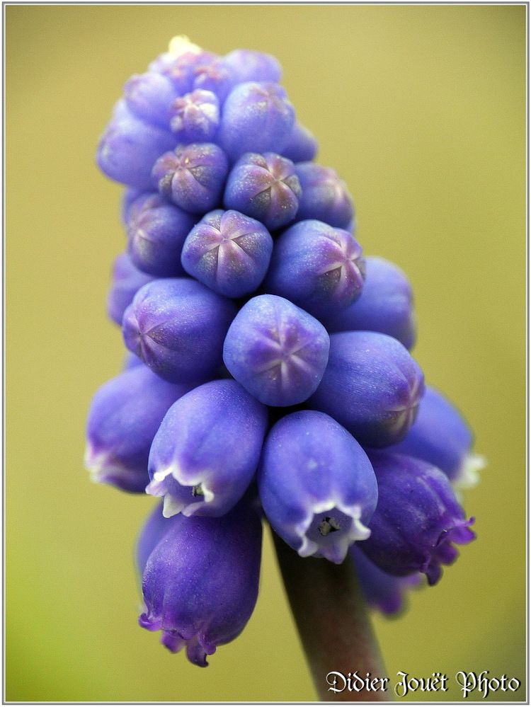 Muscari à Grappe / Muscari neglectum