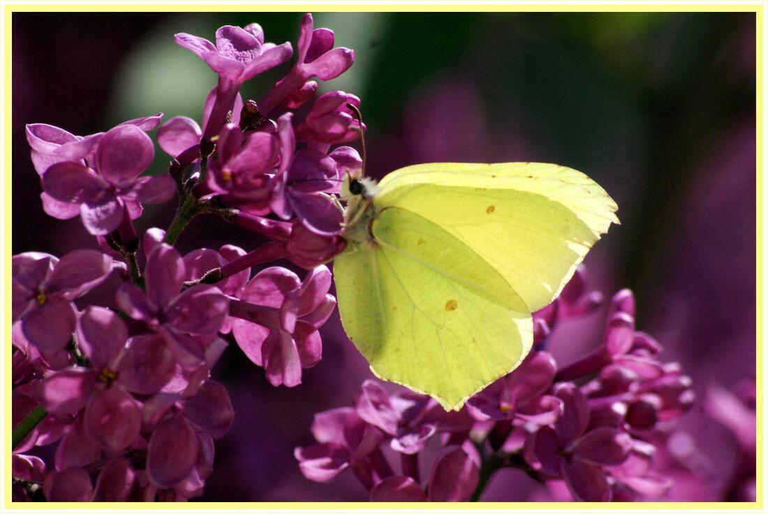 Papillon jaune sur le lilas