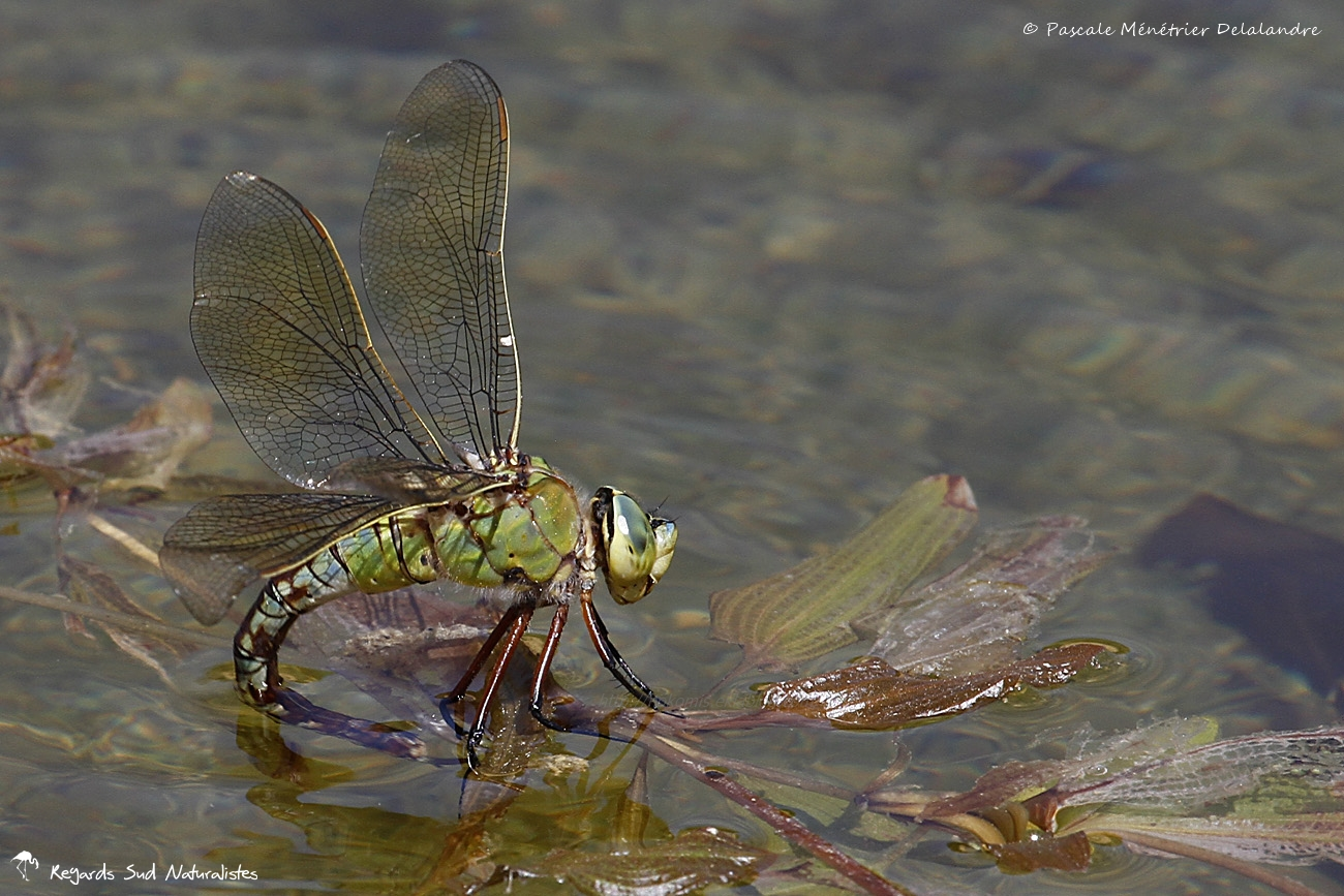 Anax empereur ♀ - Anax imperator