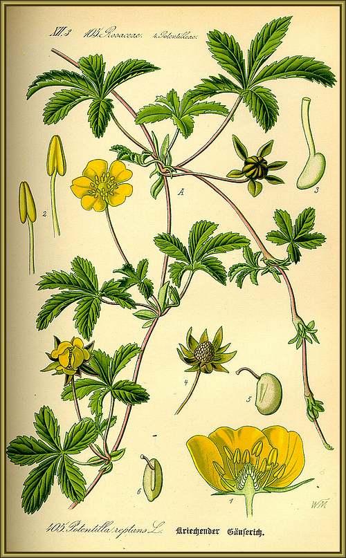 Vertus médicinales des plantes sauvages : Quintefeuille