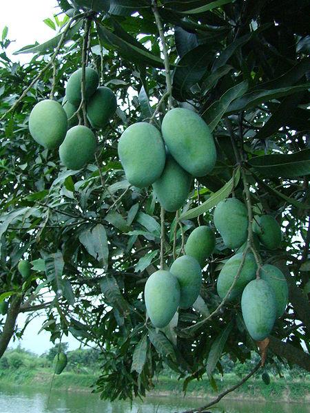450px-Mango Bangladesh (2)