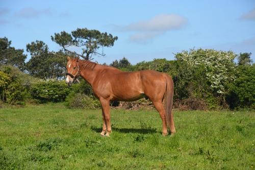 cheval  Kerguinou