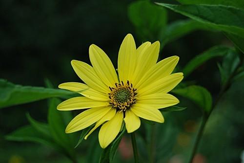 Helianthus-lemon-queen.jpg