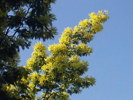 mimosa_Noirmoutier_3