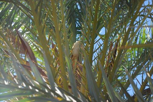 Palmier mâle