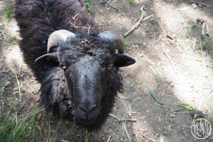 Des moutons au Terrier