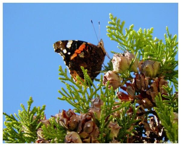 Papillon Vulcain d'octobre
