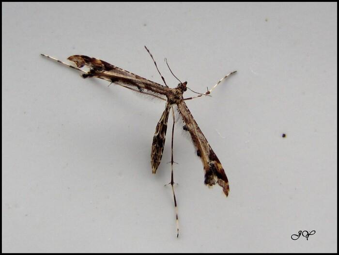 Amblyptilia  acanthadactyla.