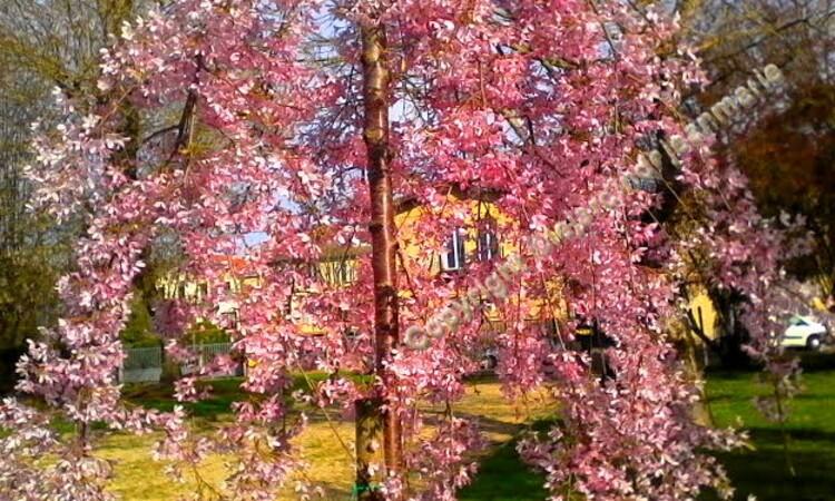 Le Prunus subhirtella 'Pendula Rosea