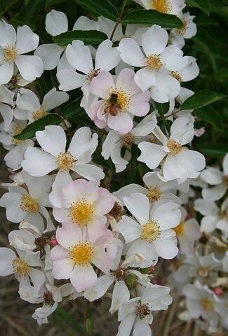 Les roses de Warren : Etoile de La Glanerie