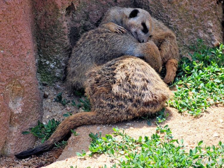 Photo d'une famille Suricate - Zoo de Beauval