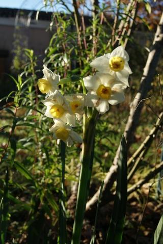 narcisse Tazeta multiflore 'Avalanche'